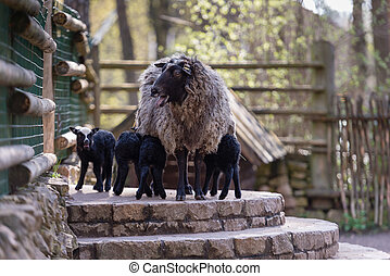 Sheep with black babies farmhouse in the yard.