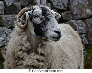 Sheep With Curved Horns in the Dales of England