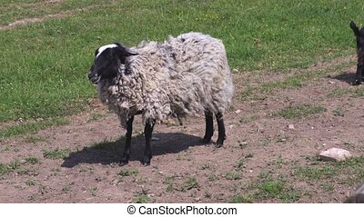 Sheep with gray wool on meadow
