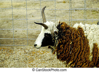 Sheep WIth Horns 2