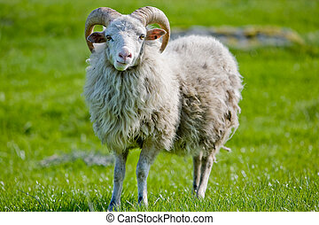 Sheep with Horns - A sheep with horns grazing in the pasture...