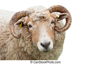 Sheep with horns - sweet expression on a sheep with horns...