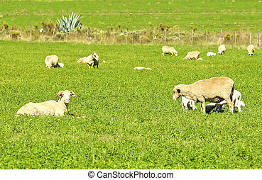Sheep with lambs in a field