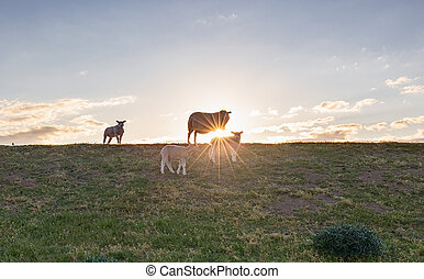 sheep with lambs on pasture against sunshine