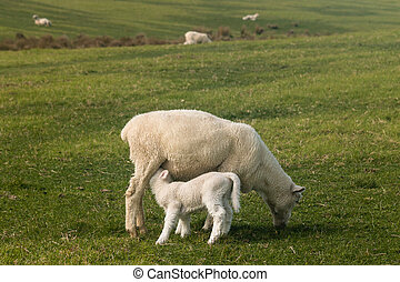 sheep with suckling lamb