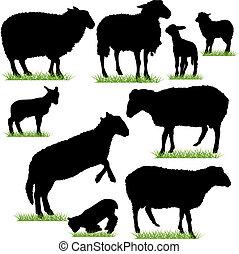 sheep, y, corderos, siluetas, conjunto