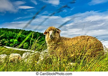 Sheep - Yellow sheep with rich wool.