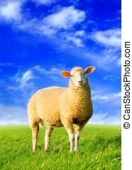 sheep, złoty