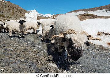 sheep, zermatt, suíça, altiplano, valais, blacknose