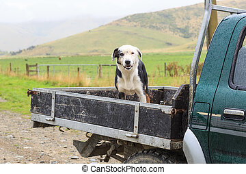 Sheepdog at the back of a pickup truck in the rain - A...