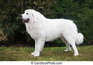 Sheepdog, casta, también, podhalan, papel, tatra, conocido,...