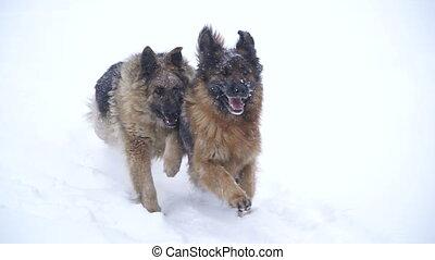 Sheepdog. Dogs of the shepherd breed run through the snow