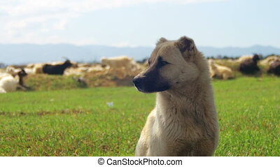 Sheepdog Guarding the Herd of Sheep in the Field - Sheepdog...