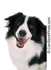 sheepdog, heureux