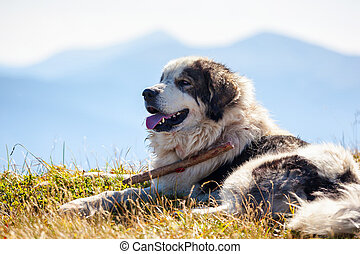Sheepdog lying against blue mountains.
