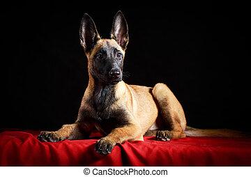 Sheepdog - Malinois Belgian Shepherd dog