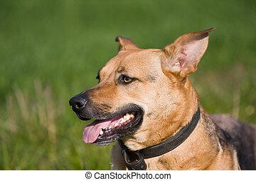 sheepdog mix portrait