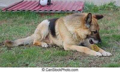 Sheepdog on lawn in yard