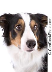 Sheepdog portrait - Portrait of a three coloured sheepdog on...