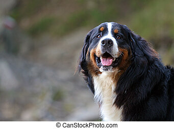 Sheepdog portrait