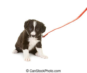 Sheepdog puppy on a leash