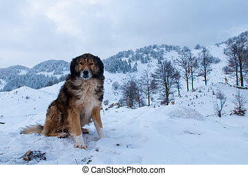 Sheepdog, Shepherd Dog in Winter