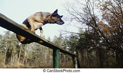 sheepdog, training., chien, race, entraîné