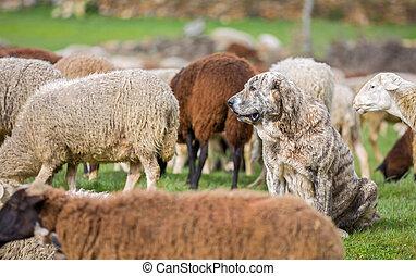 Sheepdog watching flock of sheep, shallow depth of field