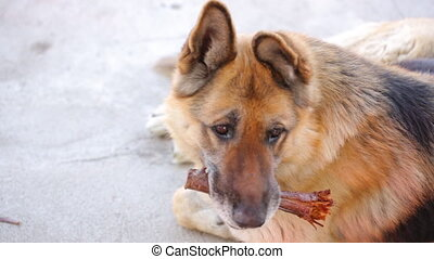 Sheepdog with wooden stick in yard