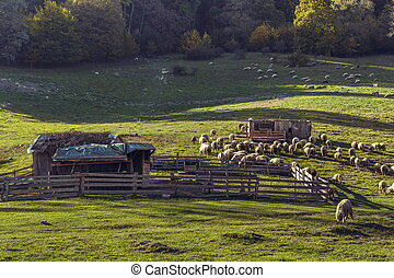 Sheepfold and grazing sheep flock - Autumnal landscape with ...