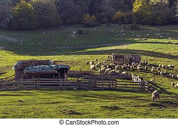 Sheepfold and grazing sheep flock
