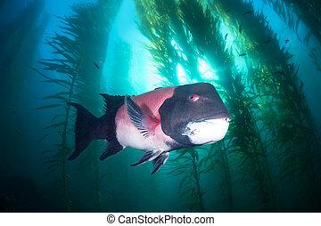 Sheephead in kelp - A large male sheephead swims through a...
