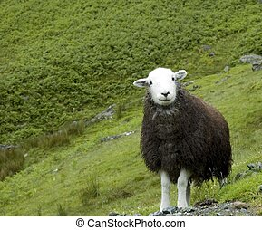 Sheepish Grin - An English sheep at pasture on a mountain ...
