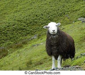 Sheepish Grin - An English sheep at pasture on a mountain ...