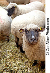 sheeps, αναμμένος άρθρο αγρόκτημα