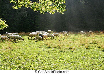 sheeps, επάνω , βοσκή