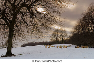 Sheeps 2 - Sheep in a snow covered field in Kent. Taken in...