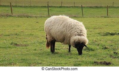 Sheeps 4 - Sheeps on a Meadow