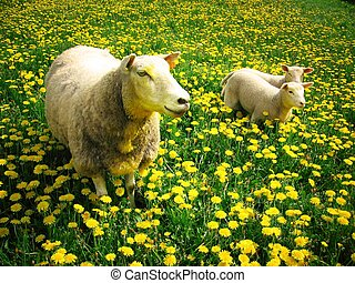Sheeps and lambs - Mother sheep with her lambs