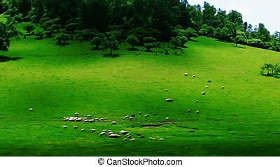 sheeps and meadow - sheeps roaming in the meadow, the shadow...