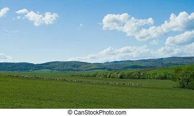 Sheeps at meadow