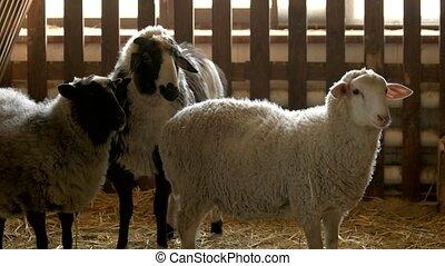 Sheeps at stable of livestock farm. Three cute sheeps...