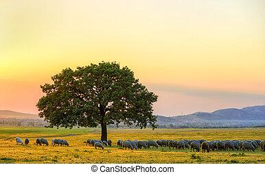 sheeps, cerca, un, roble, en, el, ocaso