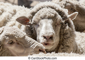 Sheeps Close-up in a Hacienda - Puerto Madryn - Argentina