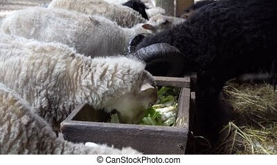 sheeps eating at farm - sheeps eating vegetables at farm