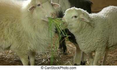 Sheeps eating grass in stable at breeding farm. Traditional...