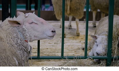 Portrait of two sheeps resting and eating hay in sync at agricultural animal exhibition, small cattle trade show. Farming, feeding, agriculture industry, livestock and animal husbandry concept