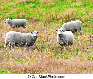 Flock of sheeps on the meadow