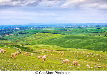 Sheeps grazing in green fields in Orcia Valley, Siena,...