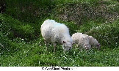 Sheeps grazing in Iceland - White sheep with two lamb...